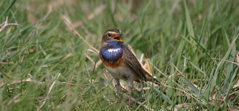 Fair Isle Spring, Island between Shetland and Orkney, bird ...